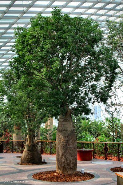 Queensland Bottle Tree or Brachychiton rupestris
