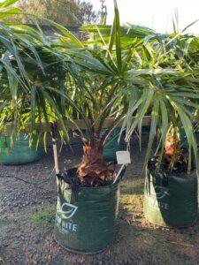 Cabbage tree palm (Livistona australis)