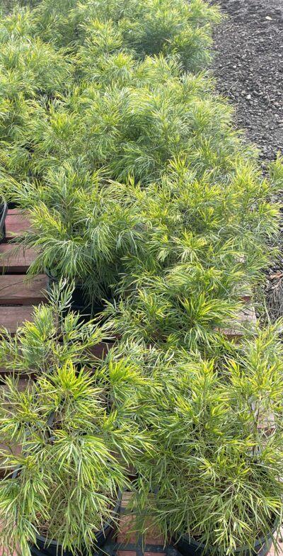 Acacia Cognata Dwarf Mini Cog
