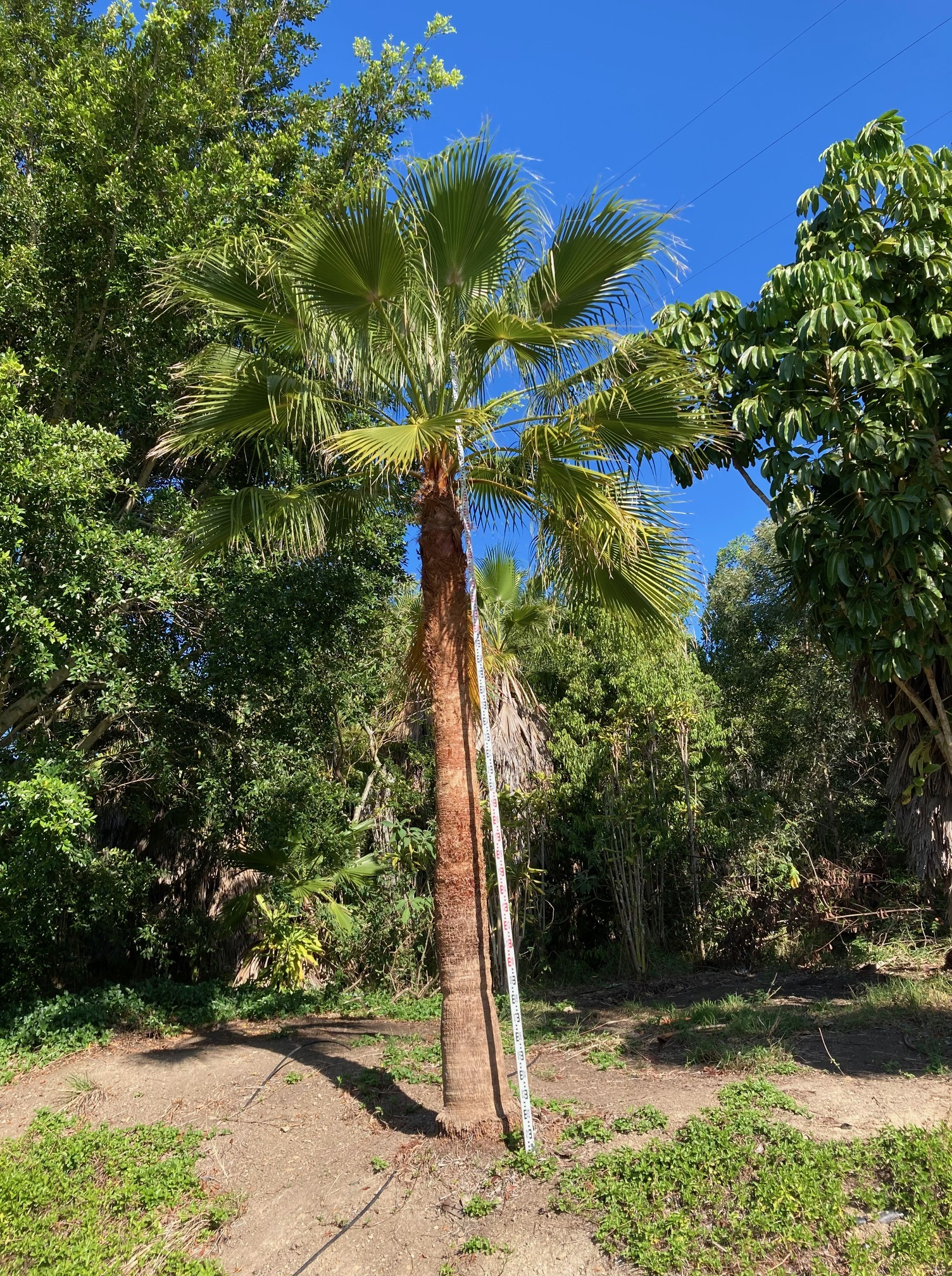 Mexican Cotton Fan Palm