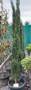 Cupressus sempervirens 'glauca' / Pencil Pine