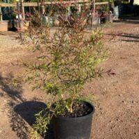 Burgundy Tea Tree (Leptospernum morisonii)