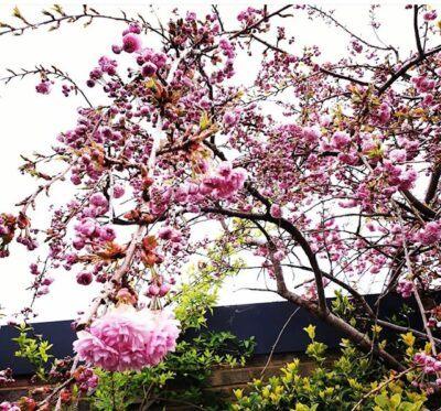 Cheal's Weeping Cherry Prunus 'kiku-shidare-zakura'