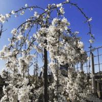White Weeping Cherry Prunus subhirtella pendula Alba