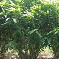 Bamboo-tiger-grass