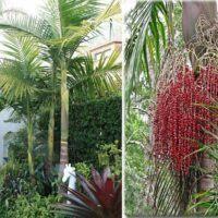 Bangalow Palm archontophoenix cunninghamiana