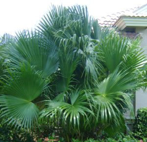 A photo of a Chinese Fan Palm in a backyard