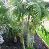 dypsis baronii cover