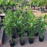 Ficus Flash Ficus Hillii