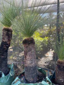 Margaret River Grass Trees