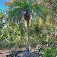 Dwarf Date Palm Melb Stock