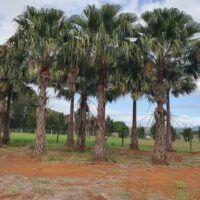 Advanced livingstonia australis