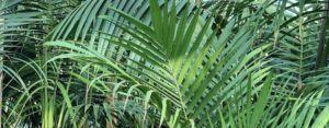 Foliage palm