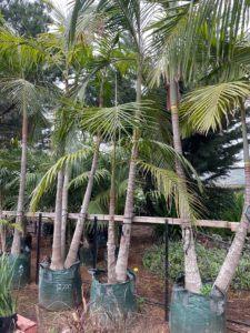 200 LITRE Bangalow Palm