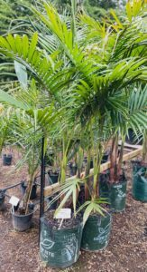 45 Ltr Bangalow Palm