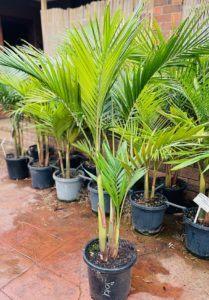 300mm Bangalow Palm
