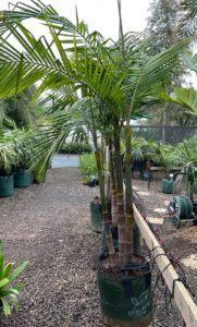 75 Ltr Bangalow Palm