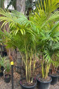 Bangalow Palm 400mm