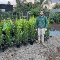 Ficus Flash