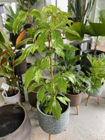 Schefflera amate (Umbrella Tree)