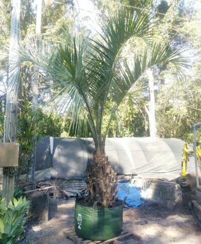 Butia Capitata / Wine Palm