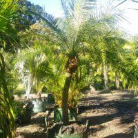 Dwarf Date Palm