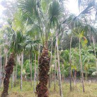 livingstonia australis