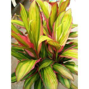 Cordyline plant in pot