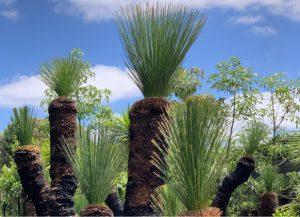 Xanthorrea preissii Margaret River Grass Trees