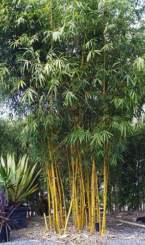 Bambusa multiplex cv. Goldstripe (Bamboo Gold stripe)